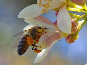 Pszczoła zbierająca pyłek kwiatowy