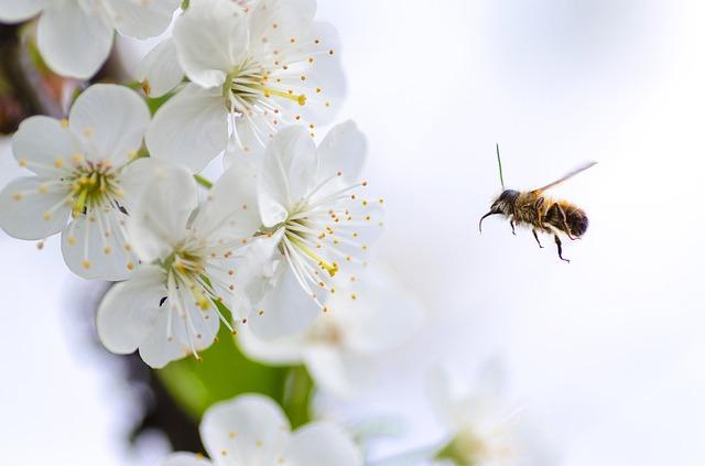 Pszczoły - pyłek kwiatowy